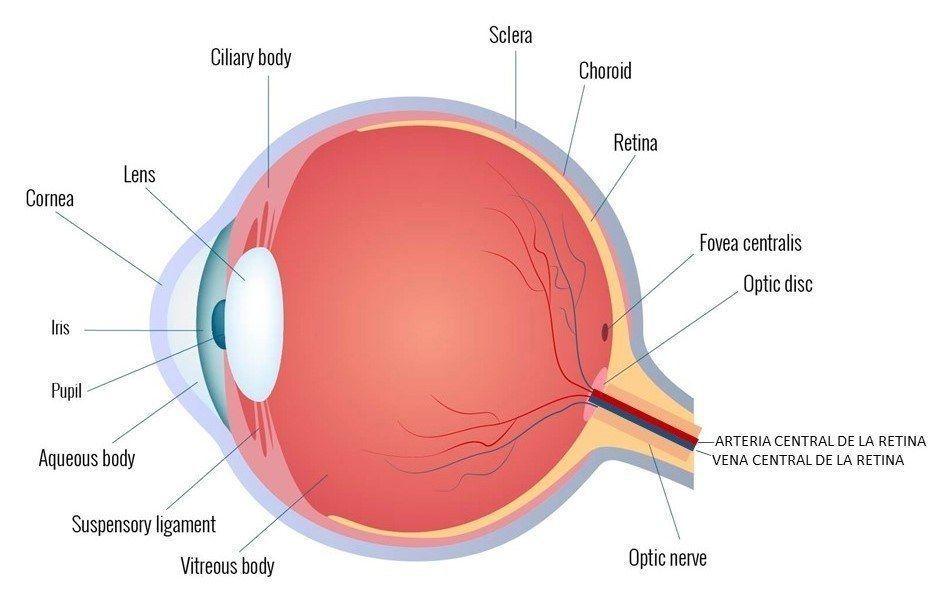 morfología ojo